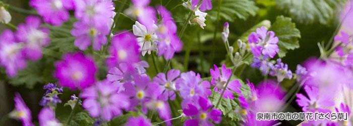 泉南市の草花「さくら草」