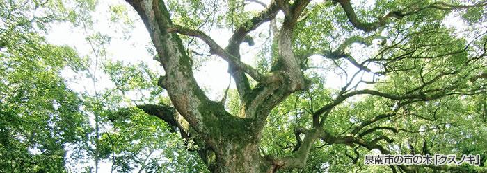 泉南市の市の木「クスノキ」